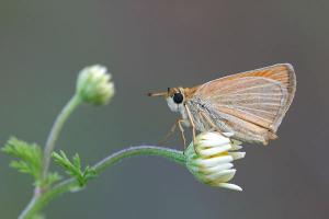 Geelsprietdikkopje - Thymelictus sylvestris