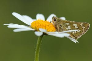 Kommavlinder - Hesperia comma