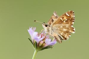 Malrovedikkopje - Carcharodus baeticus