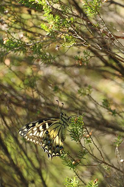 Corsicaanse koninginnenpage - Papilio hospiton