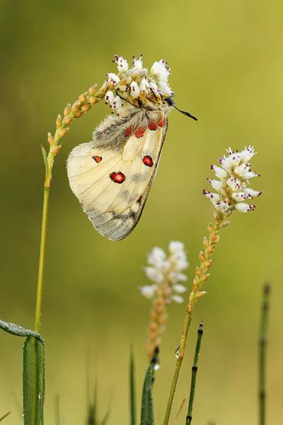 Kleine apollovlinder - Parnassius phoebus