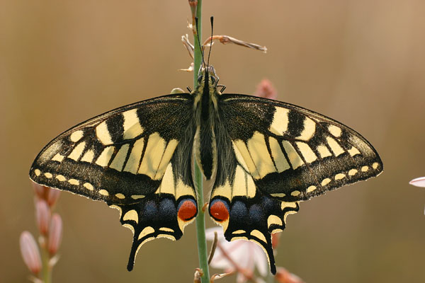 Koninginnenpage - Papilio machaon