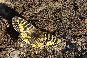 Italiaanse pijpbloemvlinder - Zerynthia cassandra