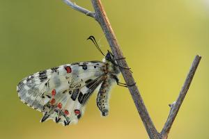 Oostelijke pijpbloemvlinder - Zerynthia cerisy
