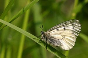 Zwarte apollovlinder - Parnassius mnemosyne