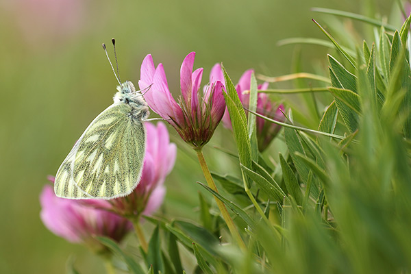 Bergresedawitje - Pontia callidice
