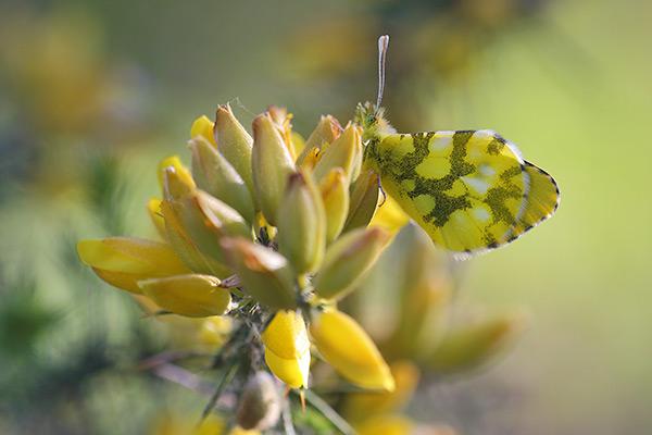 Geel oranjetipje - Anthocharis euphenoides