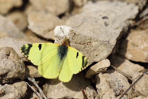 Groen marmerwitje - Euchloe bazae