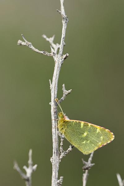 groen-marmerwitje-euchloe-bazae