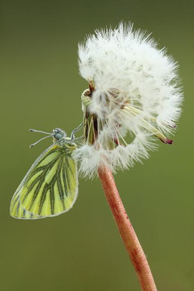 Klein geaderd witje - Pieris napi