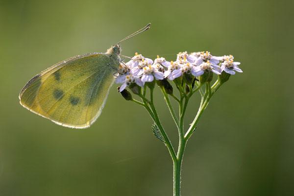 Klein koolwitje - Pieris rapae