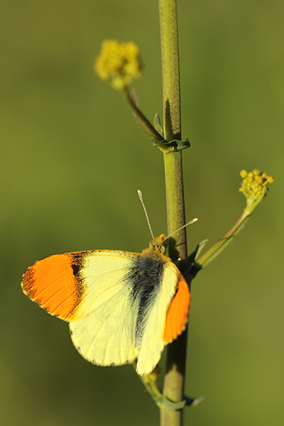 Oostelijk oranjetipje - Anthocharis damone