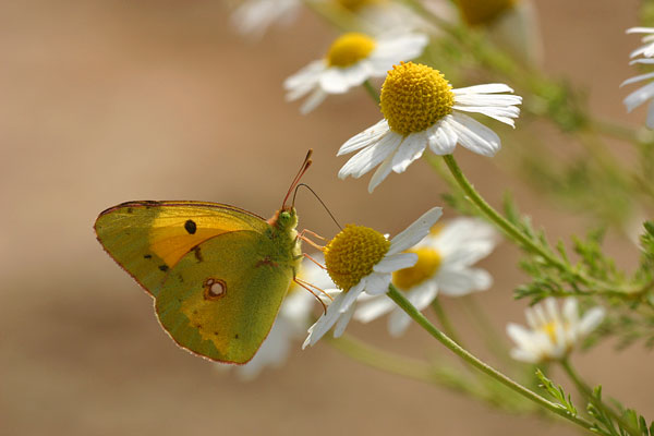 Oranje luzernevlinder - Colias croceus