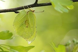Citroen vlinder - Gonepteryx rhamni