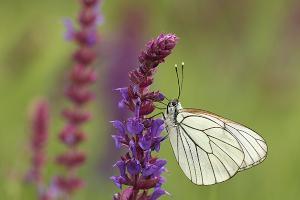 Groot geaderd witje - Aporia crataegi