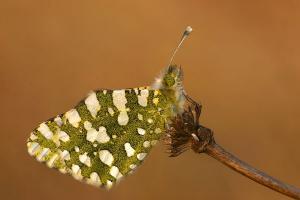 Westelijk marmerwitje - Euchloe crameri