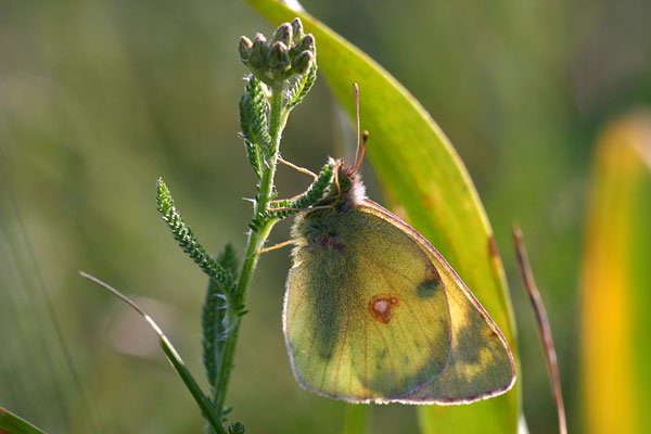 Zuidelijke luzernevlinder - Colias alfacariensis
