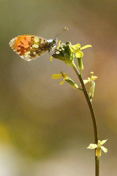 Zwavelig oranjetipje - Anthocharis gruneri