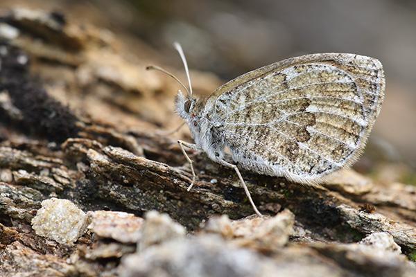 Alpenglanserebia - Erebia nivalis