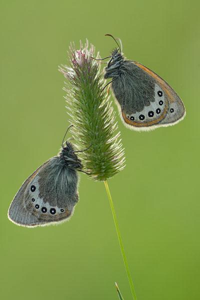 Alpenhooibeestje - Coenonympha gardetta