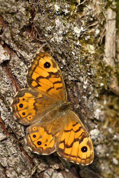 Argusvlinder - Lasiommata megera