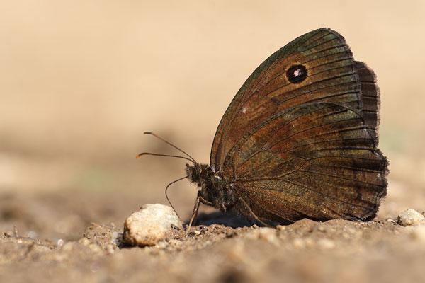 Blauwoogvlinder - Minois dryas