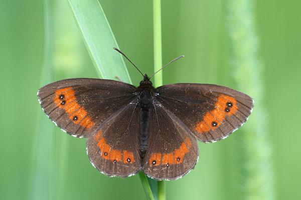 Boserebia - Erebia ligea