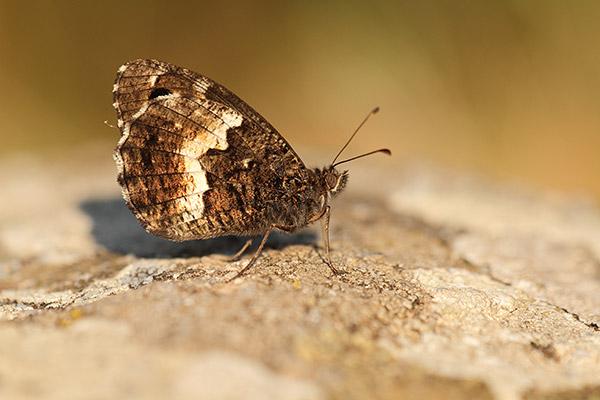 Corsicaanse heivlinder - Hipparchia neomiris
