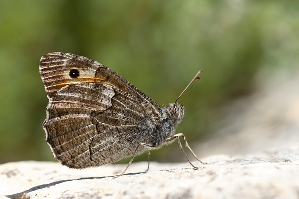 Egeische heivlinder - Hipparchia mersina