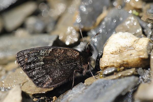 Gewone zijde erebia - Erebia gorge