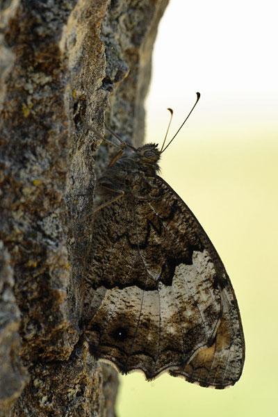 Grote boswachter - Hipparchia fagi