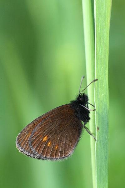 Kleine bergerebia - Erebia melampus