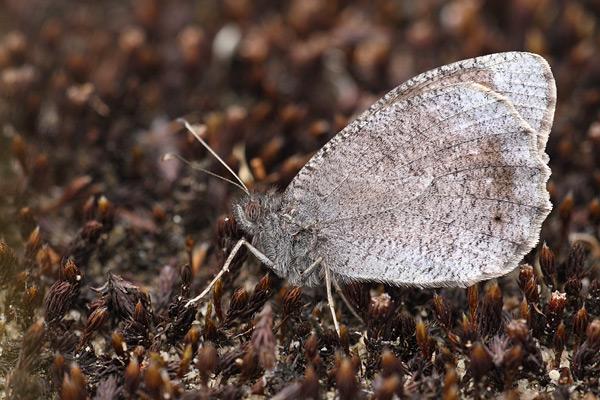 Kleine heivlinder - Hipparchia statilinus