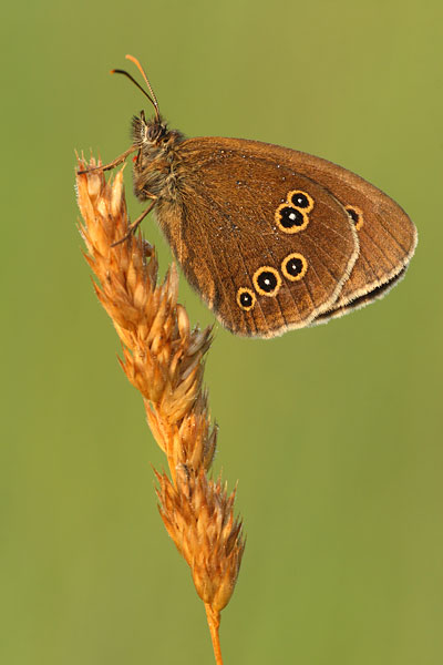 Koevinkje - Aphantopus hyperantus