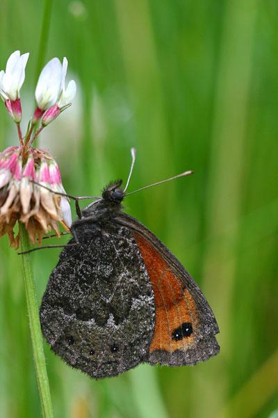 Marmererebia - Erebia montana