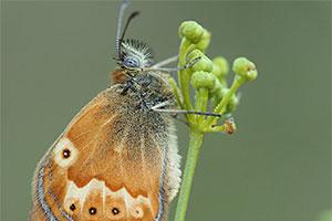 Corsicaans hooibeestje - Coenonympha corinna
