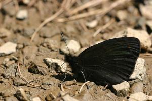 Donkere erebia - Erebia meolans