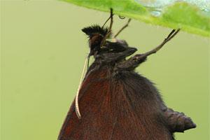 Grote erebia - Erebia euryale