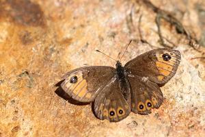 Kleine rotsvlinder - Lasiommata petropolitana
