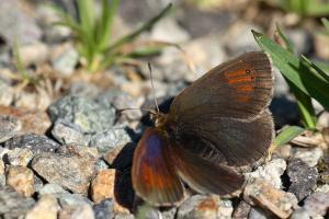 Zwitserse glanserebia - Erebia tyndarus