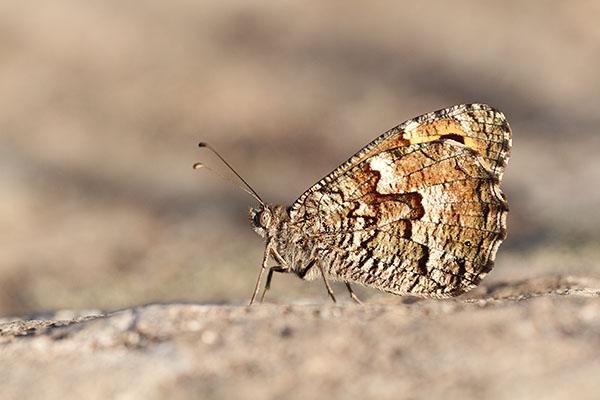 Zuidelijke heivlinder - Hipparchia aristaeus