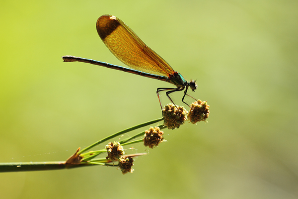 Koperen beekjuffer - Calopteryx haemorrhoidalis