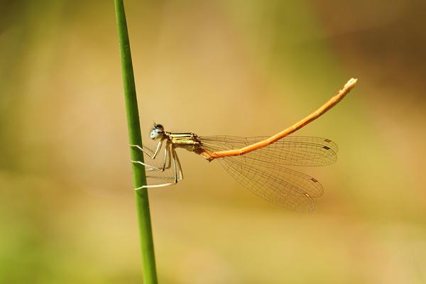 Oranje breedscheenjuffer - Platycnemis acutipennis