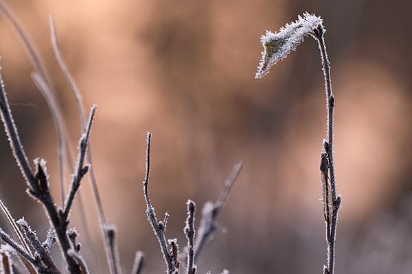 Noordse winterjuffer - Sympecma paedisca